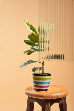 plant with light green leaves in colorful flowerpot on wooden bar stool behind reed glass