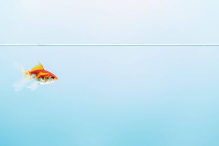 pure calm water with goldfish on blue background Stockfoto