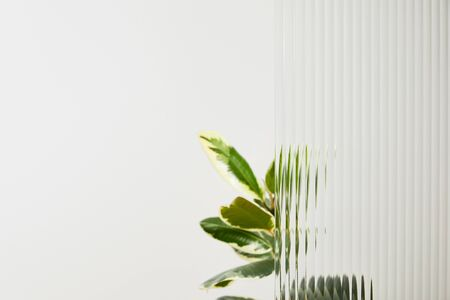 plant with light green leaves on white background behind reed glass 版權商用圖片