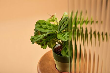 selective focus of plant in flowerpot on wooden stool isolated on beige behind reed glass