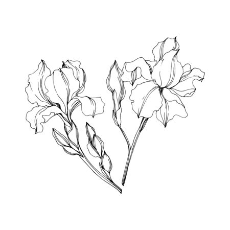 Vector Irises floral botanical flowers. Wild spring leaf wildflower isolated. Black and white engraved ink art. Isolated irises illustration element on white background. Vetores