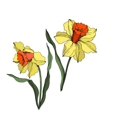 Vector Narcissus floral botanical flower. Wild spring leaf wildflower isolated. Yellow and green engraved ink art. Isolated narcissus illustration element on white background.