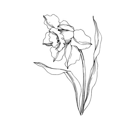 Vector Narcissus floral botanical flower. Wild spring leaf wildflower isolated. Black and white engraved ink art. Isolated narcissus illustration element on white background.