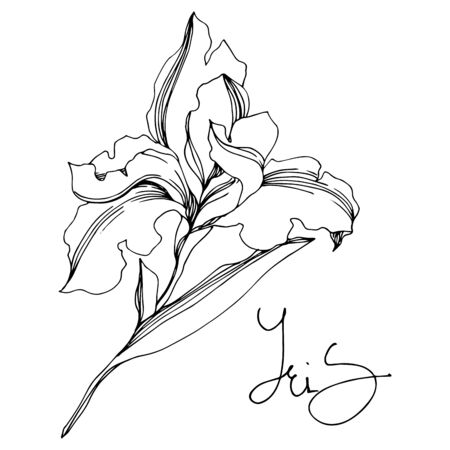 Iris floral botanical flowers. Wild spring leaf wildflower isolated. Black and white engraved ink art. 일러스트