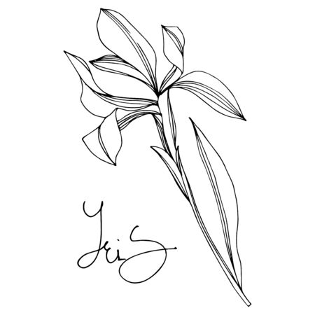 Iris floral botanical flowers. Wild spring leaf wildflower isolated. Black and white engraved ink art.  イラスト・ベクター素材