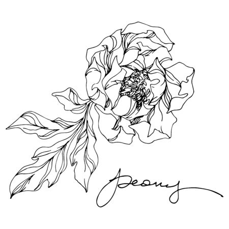 Peony floral botanical flowers. Wild spring leaf wildflower isolated. Black and white engraved ink art. Isolated peonies illustration element on white background. Ilustracja