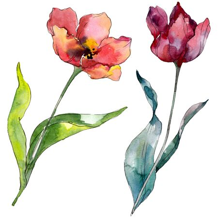 Red tulip floral botanical flower. Wild spring leaf wildflower isolated.  background illustration set. Watercolour drawing fashion aquarelle isolated. Isolated tulips illustration element.