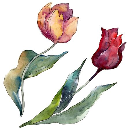 Tulip floral botanical flowers. Wild spring leaf wildflower isolated.  background illustration set. Watercolour drawing fashion aquarelle isolated. Isolated tulips illustration element.