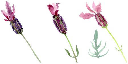 Purple lavender floral botanical flowers. Wild spring leaf wildflower isolated.  background illustration set. Watercolour drawing fashion aquarelle. Isolated lavender illustration element. 스톡 콘텐츠