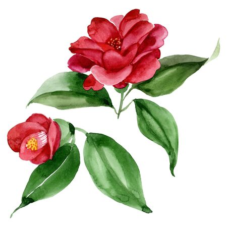 Red camelia floral botanical flower. Wild spring leaf wildflower.  background illustration set. Watercolour drawing fashion aquarelle. Isolated camelia illustration element. 版權商用圖片