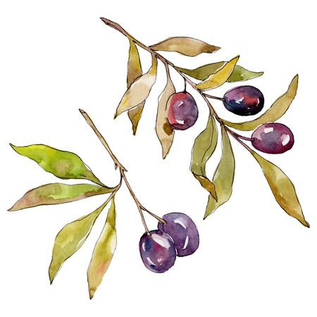Olive branch with black fruit.  background illustration set. Watercolour drawing fashion aquarelle isolated. Isolated olives illustration element.