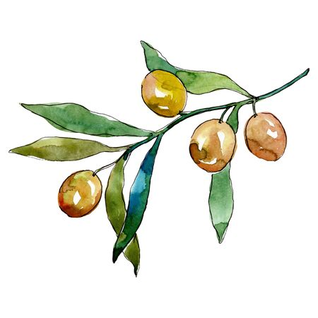 Olive branch with green fruit.  background illustration set. Watercolour drawing fashion aquarelle isolated. Isolated olives illustration element.
