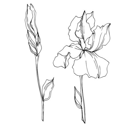 Vector Iris floral botanical flowers. Wild spring leaf wildflower isolated. Black and white engraved ink art. Isolated irises illustration element on white background. 向量圖像