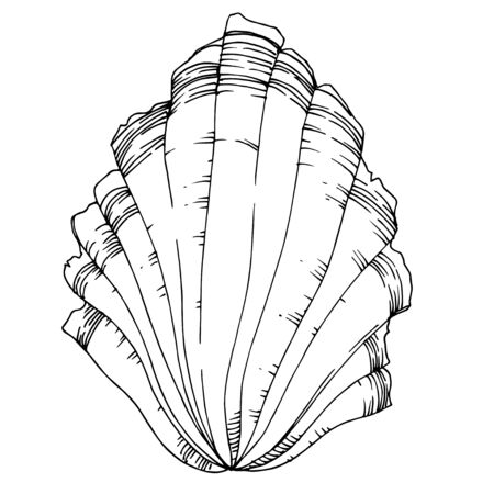 Vector Summer beach seashell tropical elements. Black and white engraved ink art. Isolated shells illustration element on vhite background. Ilustrace