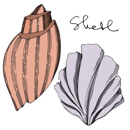 Vector Summer beach seashell tropical elements. Black and white engraved ink art. Isolated shells illustration element on vhite background. 向量圖像