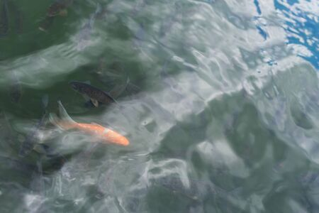 goldfish swimming in pond with dark fishes in summertime