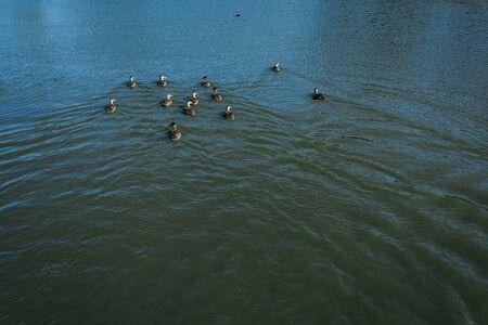 flock of wild geese swimming in lake in summertime