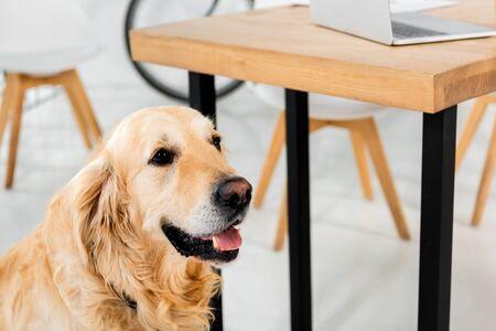 cute golden retriever sitting on floor near table in office 写真素材