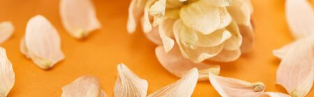close up view of dry hop seed cones near petals on yellow, panoramic shot Stock Photo