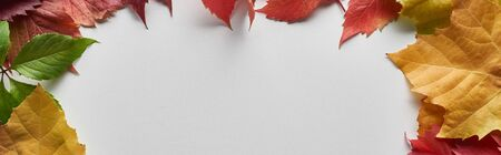 panoramic shot of colorful autumn leaves on white background with copy space Archivio Fotografico - 133697806