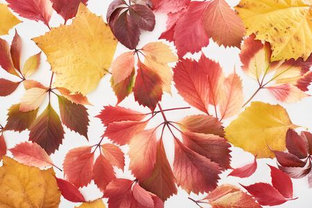 top view of colorful red and yellow leaves of wild grapes, alder and maple isolated on white Archivio Fotografico - 133768462