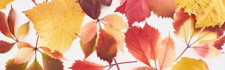 panoramic shot of red and yellow leaves of wild grapes, alder and maple isolated on white Archivio Fotografico - 133861052