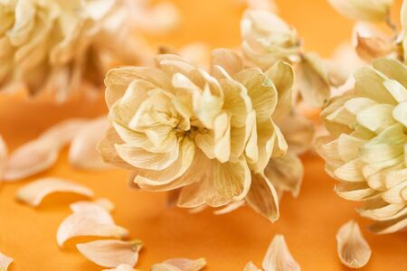 close up view of dry hops near petals isolated on yellow background Stock Photo