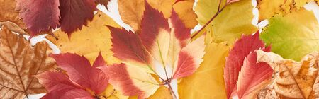 panoramic shot of colorful autumn leaves of wild grapes, alder and maple isolated on white Archivio Fotografico - 133861934
