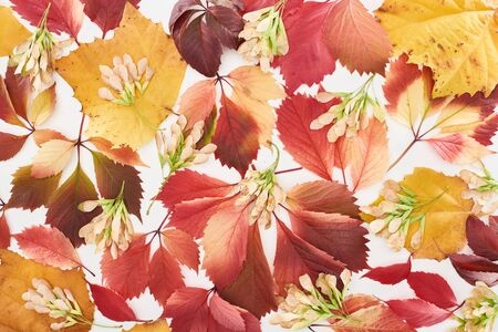 top view of maple seeds, colorful red and yellow leaves of wild grapes, alder and maple isolated on white Archivio Fotografico - 133597424