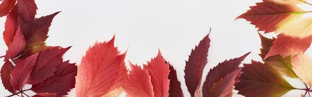 panoramic shot of colorful autumn leaves of wild grapes isolated on white Archivio Fotografico - 133597761