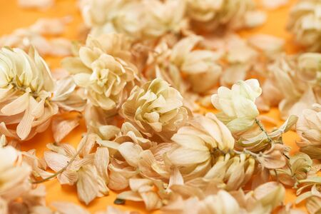close up view of dry hops near petals on yellow background Stock Photo