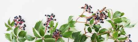 panoramic shot of wild grapes branch with green leaves and berries isolated on white