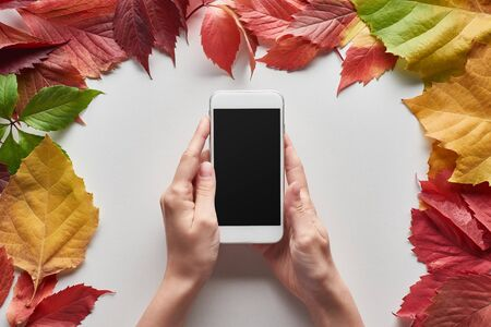 cropped view of woman holding smartphone with blank screen near colorful autumn leaves of alder, maple and wild grapes on white background Archivio Fotografico - 133599351