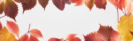 panoramic shot of colorful autumn leaves of wild grapes and alder isolated on white Archivio Fotografico - 133599375