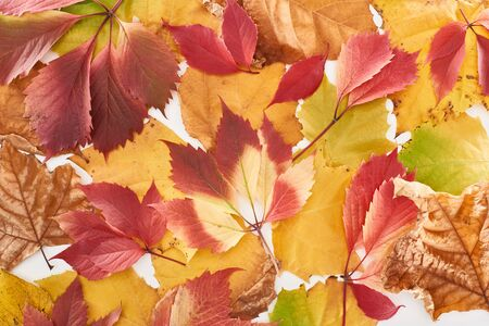 top view of colorful autumn leaves of wild grapes and maple isolated on white Archivio Fotografico - 133862332