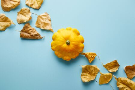 ripe whole colorful Pattypan squash and dry foliage on blue background