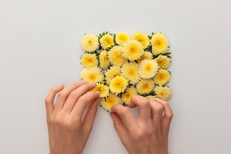 cropped view of woman touching yellow asters on white background