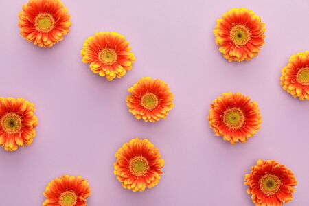 top view of orange gerbera flowers on violet background
