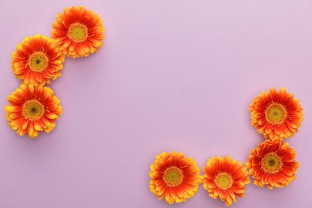 top view of orange gerbera flowers on violet background with copy space 스톡 콘텐츠