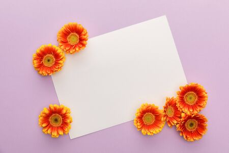 top view of orange gerbera flowers and white blank paper on violet background 스톡 콘텐츠