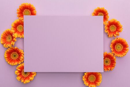 top view of orange gerbera flowers and blank paper on violet background 스톡 콘텐츠