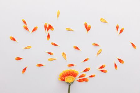 top view of orange gerbera flower with petals on white background 스톡 콘텐츠