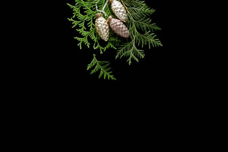 top view of shiny golden Christmas cones on green thuja branches isolated on black Stock Photo