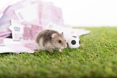 selective focus of little hamster near euro banknotes and toy soccer ball isolated on white, sports betting concept