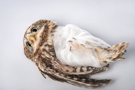 top view of injured owl on white background 免版税图像