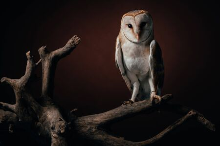 cute wild barn owl on wooden branch on dark background
