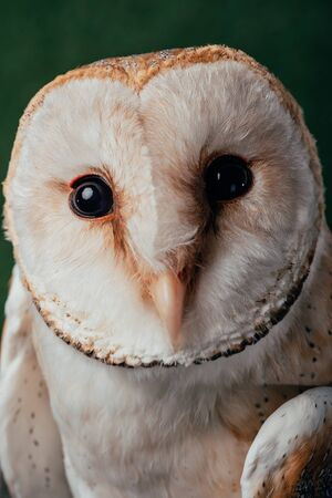 close up view of cute wild barn owl muzzle