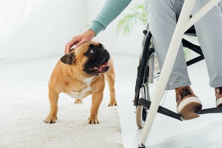 Cropped view of man in wheelchair stroking french bulldog in living room