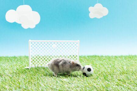 little hamster near toy soccer ball and gates on green grass on blue background with clouds, sports betting concept