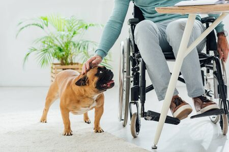 Cropped view of man in wheelchair stroking french bulldog